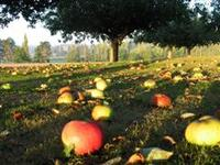 Apples_ripened_fallen_orchard_wince